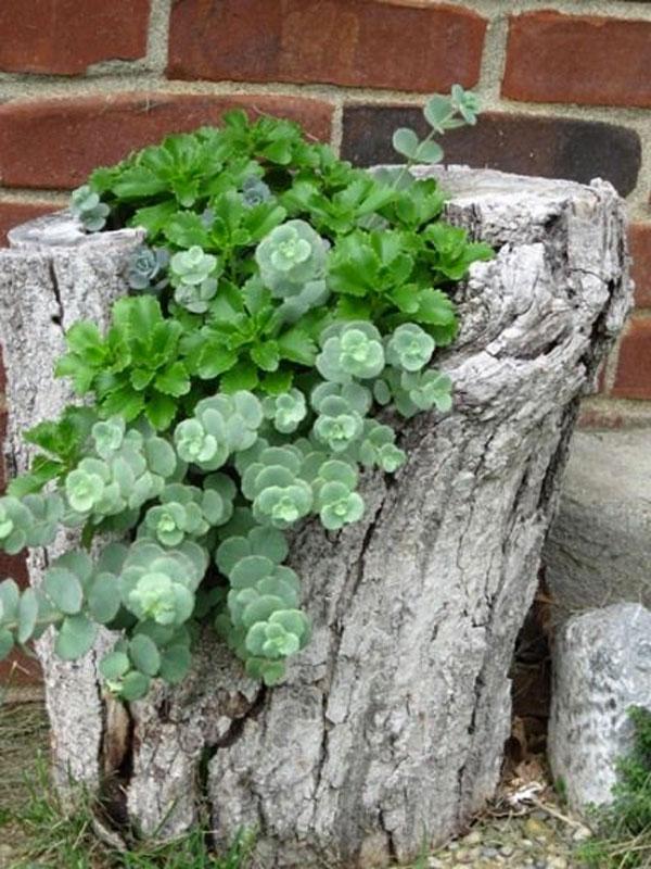 tronco con piante grasse