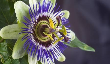 Passiflora pergolato