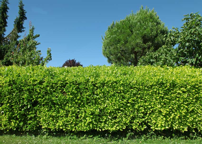 Haie de Laurier arbuste pour haie de jardin.