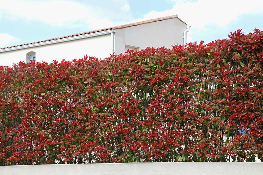 Arbustes pour haie de jardin le photinia.