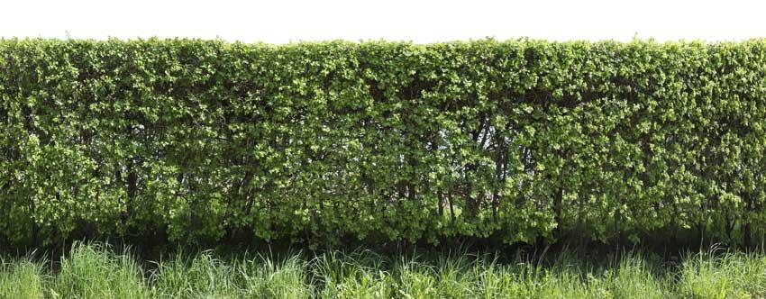 aubépine haie de jardin.