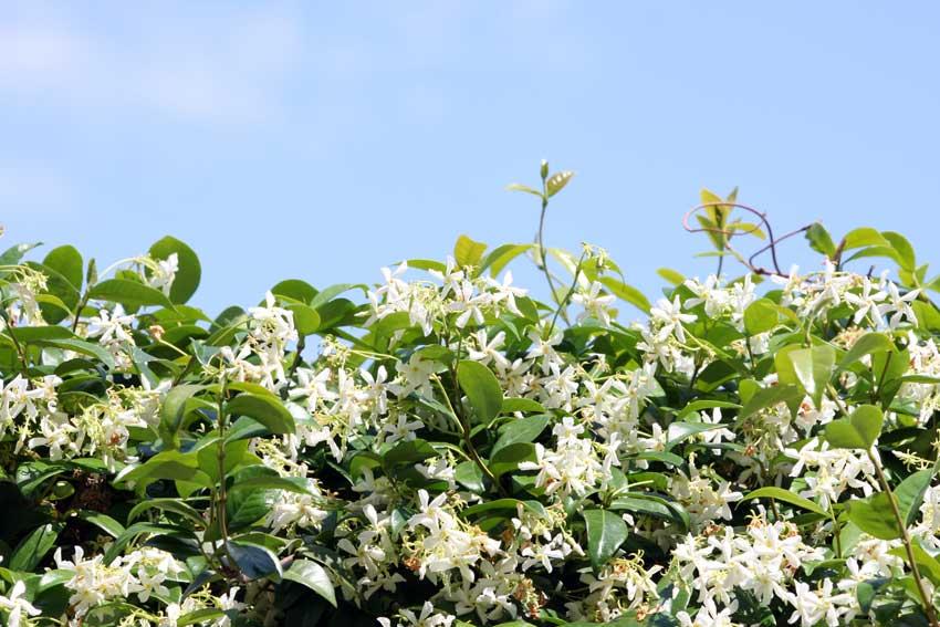 haie de jardin avec le jasmin belle et parfumée.