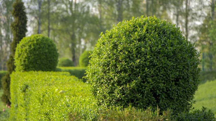 Arbustes pour haie de jardin occultante.