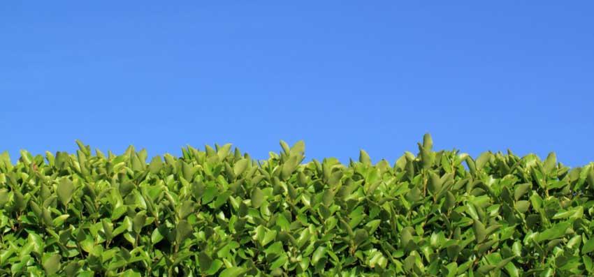 Arbustes pour haie de jardin occultante le troène.