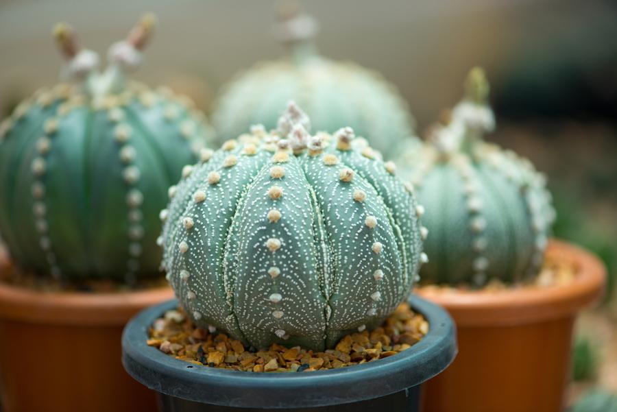 Petit cactus rond dans un pot en plastique.