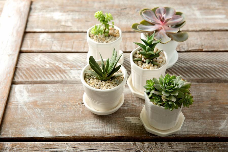 Petits pots avec des plantes grasses pour décorer au printemps.