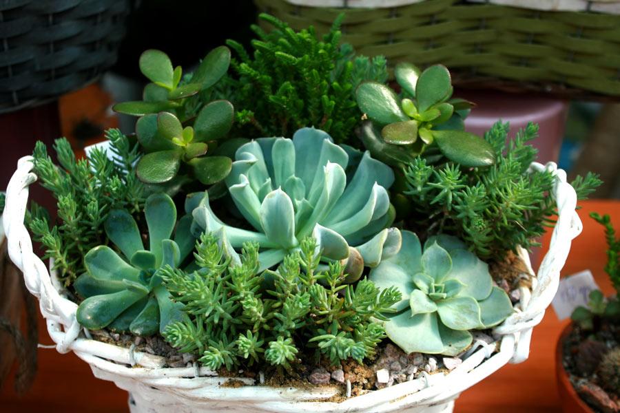 Déco de plantes succulentes dans un pot en osier blanc.
