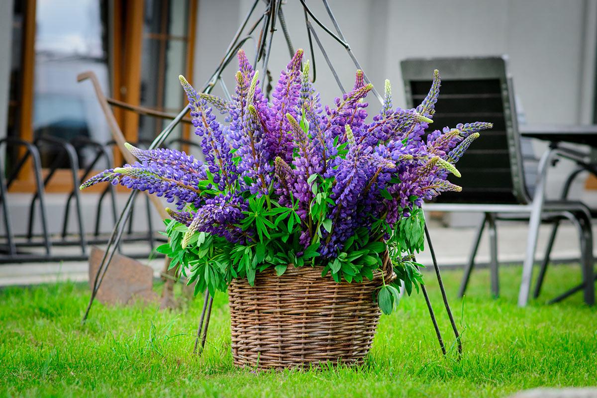 panier en osier dans le jardin avec fleurs violettes.