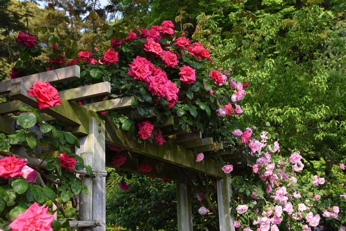 Roses grimpantes sur pergola.