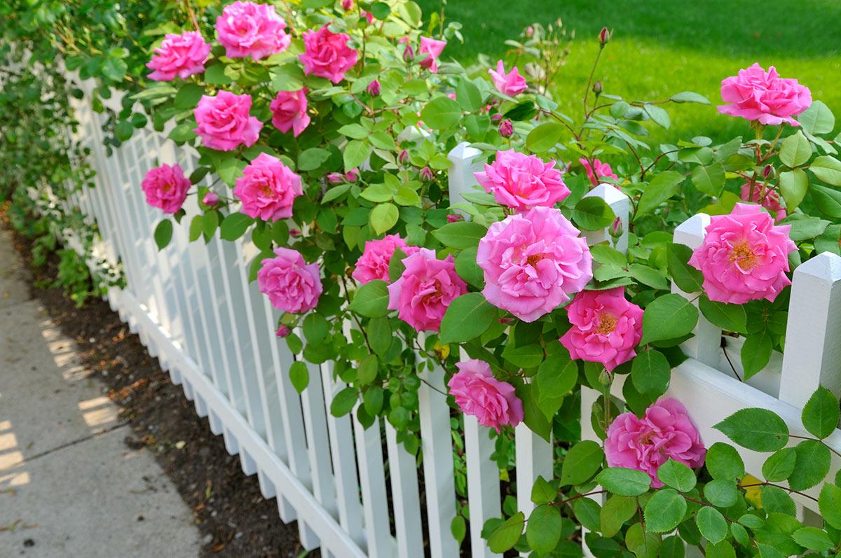 Cloture de jardin avec des roses.