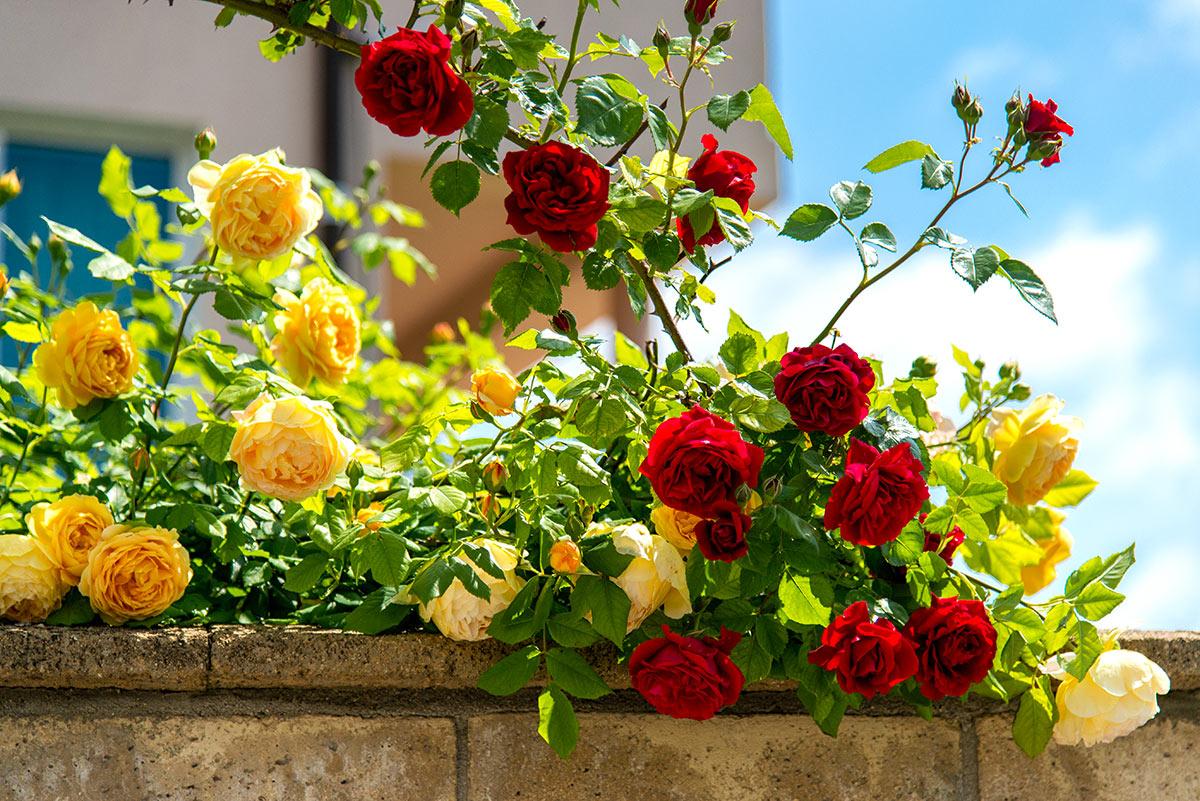 Roses jaunes et rouges.
