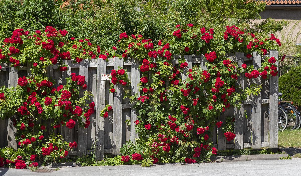 Rosiers sur cloture de jardin en palettes de bois.