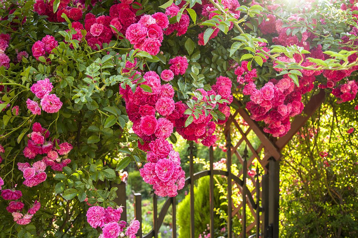 Superbes roses dans le jardin.