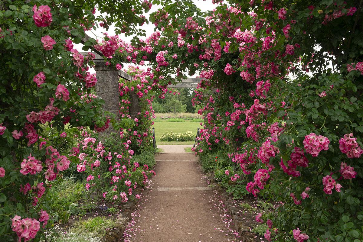 Un couloir de roses dans le jardin.