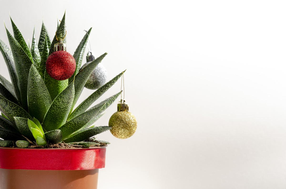 succulentes de Noël