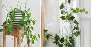Une plante grimpante à l'intérieur.