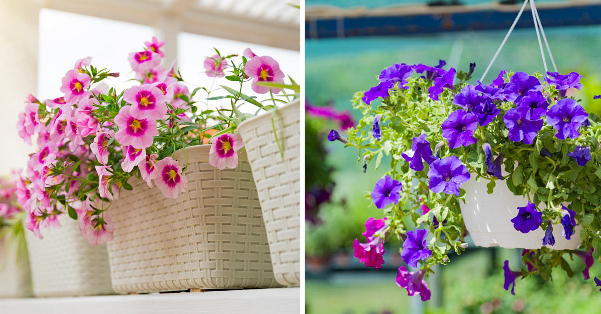 Fleurs superbes à mettre en plein soleil.