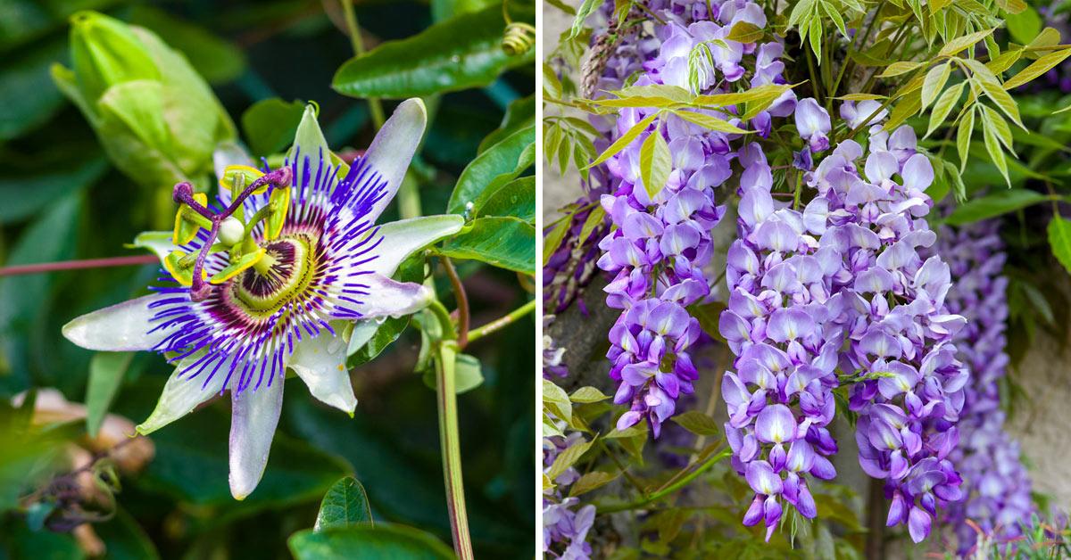 Plantes grimpantes à fleurs colorées.