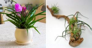 Tillandsia plante.
