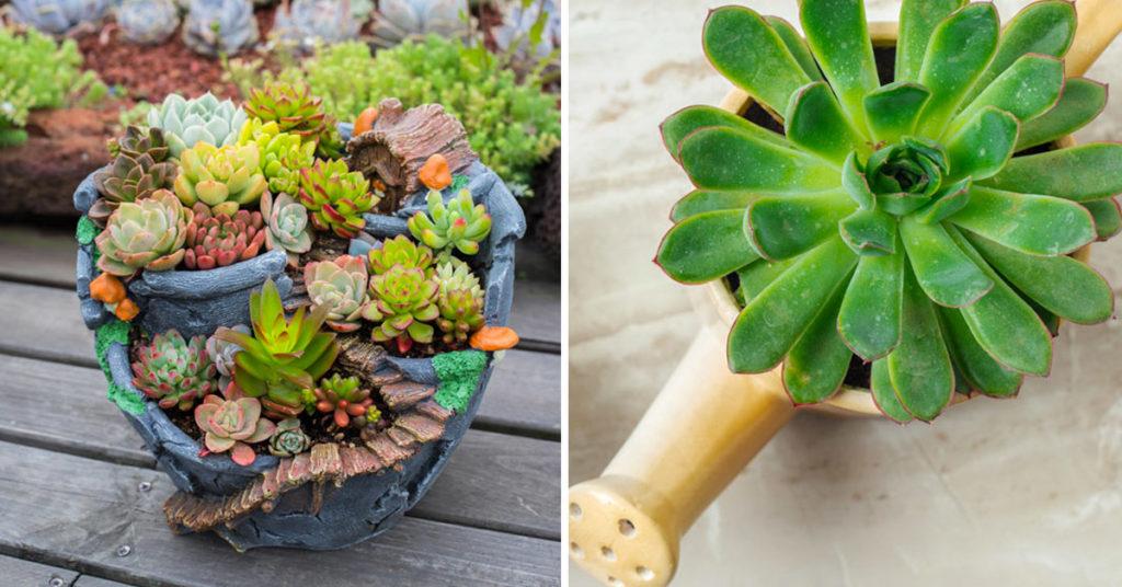Créativité avec des plantes succulentes, plantes grasses.