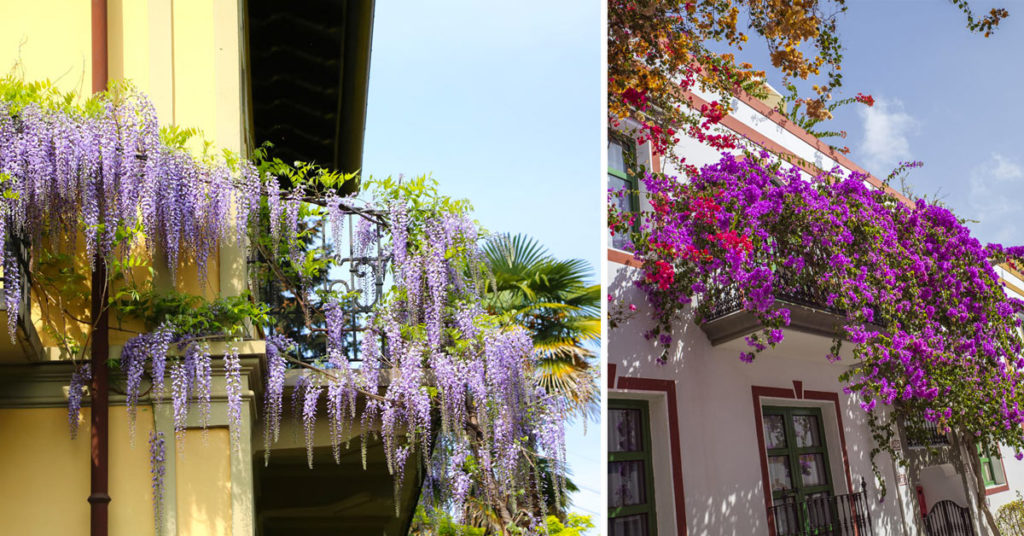 Plantes grimpantes balcon.