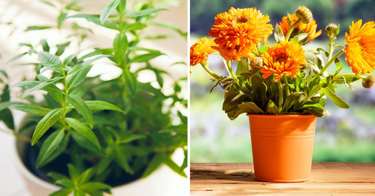 Plantes pour éloigner les moustiques.