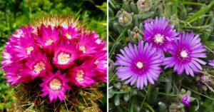 plantes succulentes fleuries