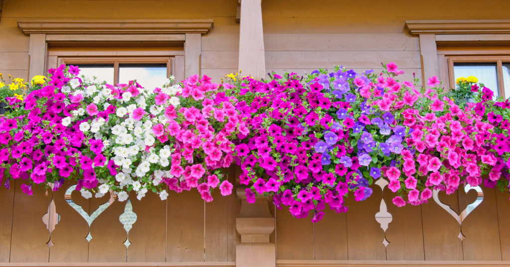 Fleurs en cascade balcon.