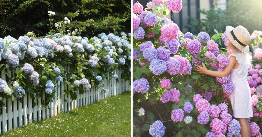 Jardins fleuris avec des hortensias.