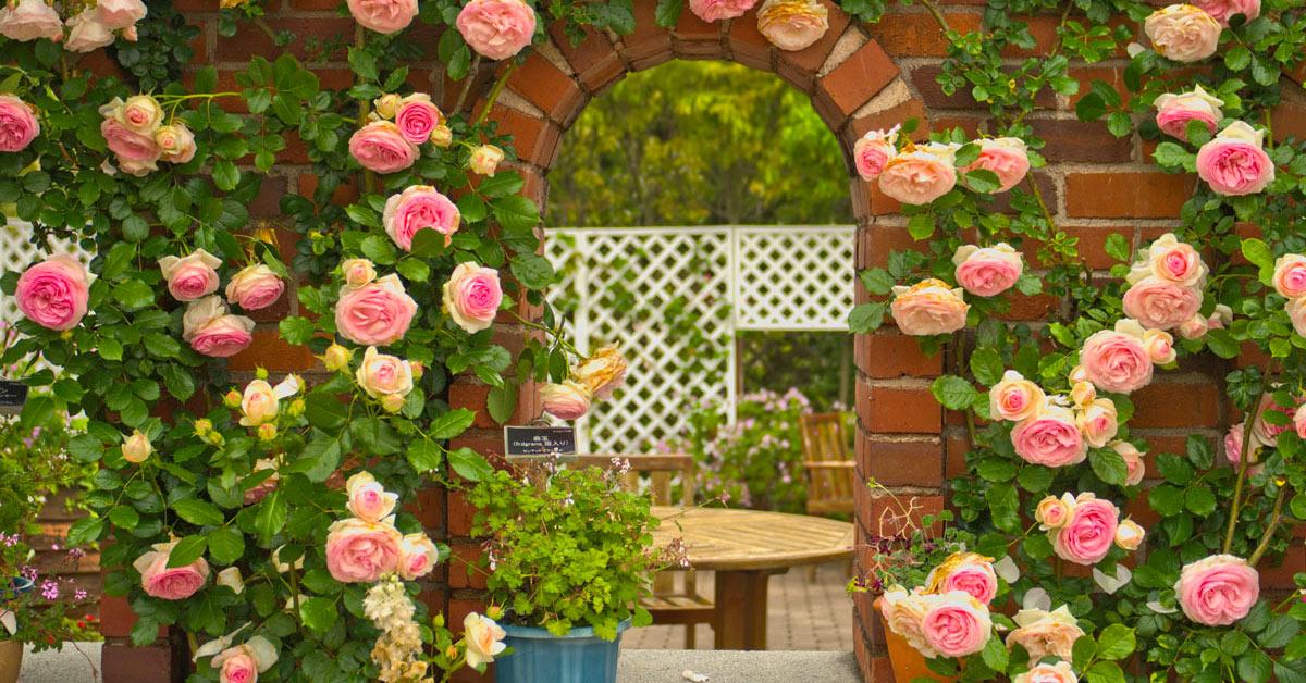 Rose la plus belle du monde Pierre de Ronsard.