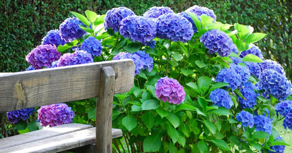 Hortensia fleurs.