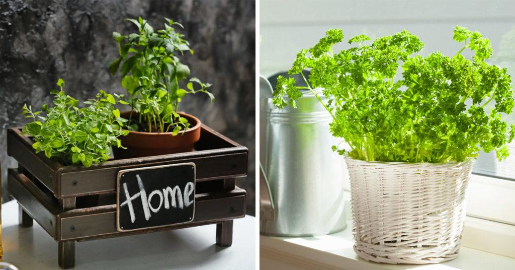 Plantes aromatiques en pots.
