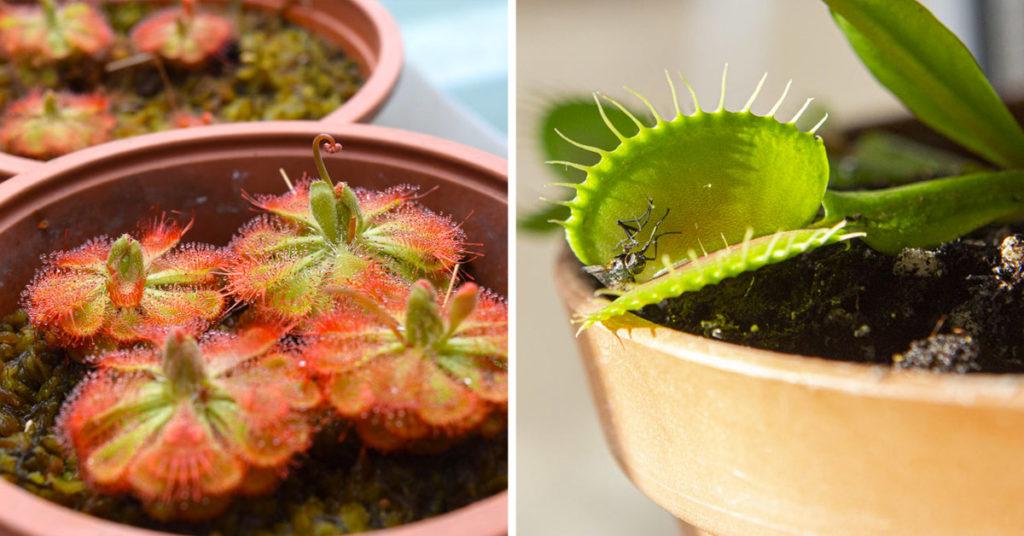 Plante carnivore anti-moustiques.