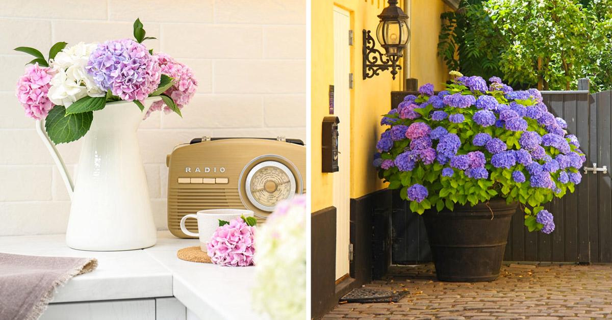 Décorer avec un joli vase d'hortensias.