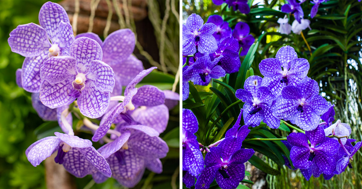 Vanda Coerulea - orchidée bleue