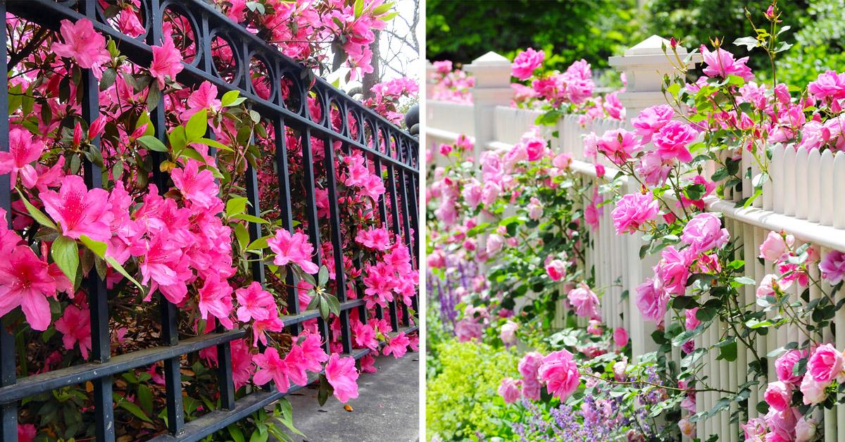 Clôtures fleuries