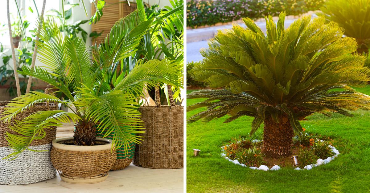 Cycas plante.