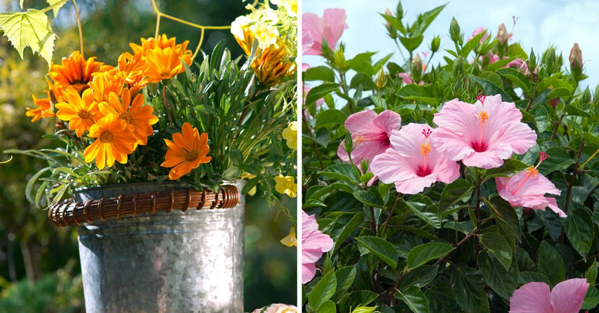 Fleurs d'été résistantes au soleil et à la chaleur.