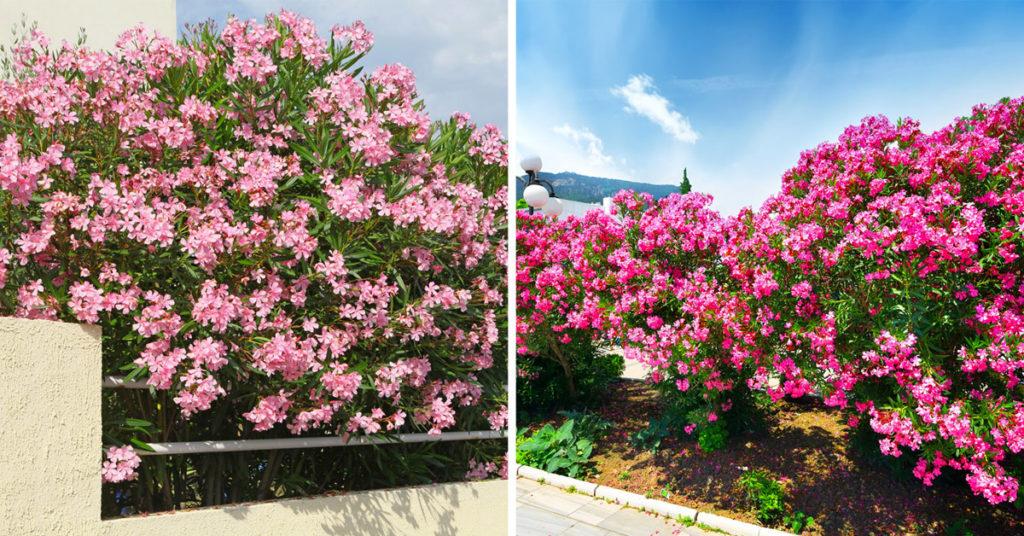 Laurier-rose ou Nerium oleander.