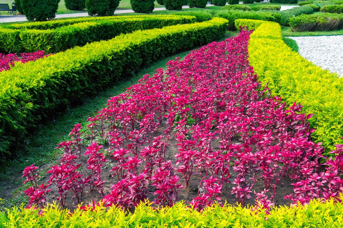 Arbustes rouges dans le jardin pour ajouter une touche de couleur intense