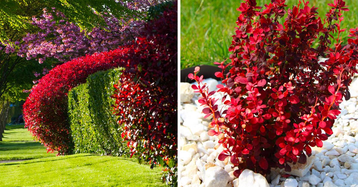 Arbustes rouges dans le jardin