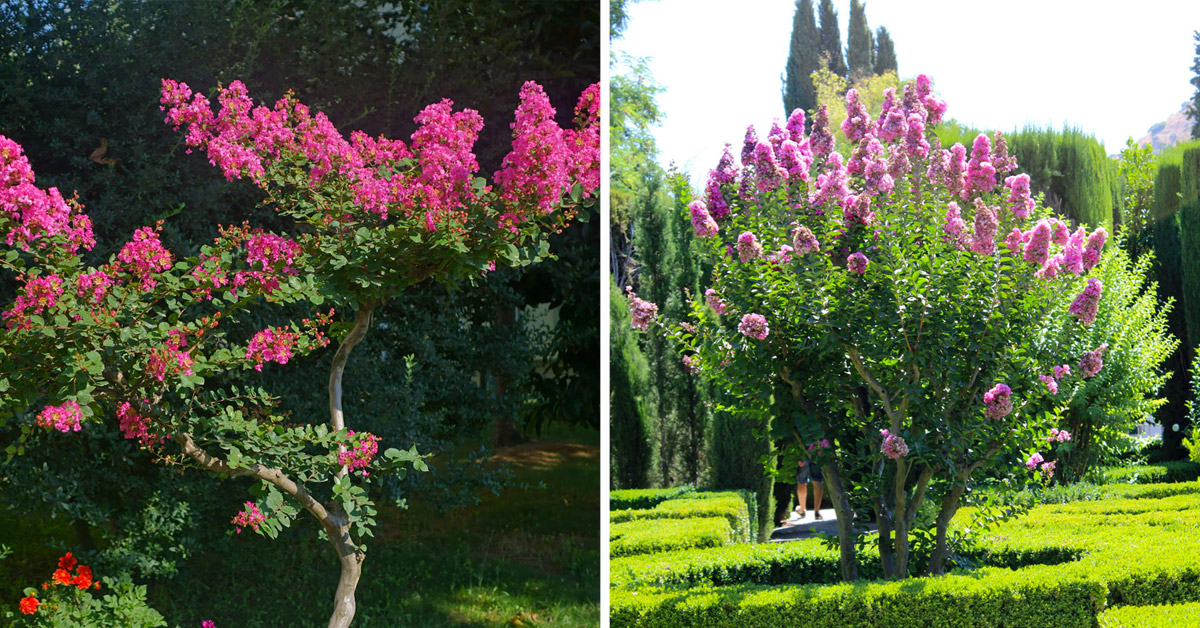 Comment cultiver plante Lagerstroemia.
