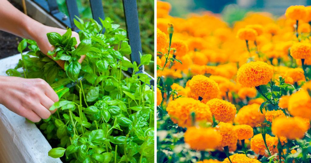 Plantes anti-moustiques pour jardin et balcon.