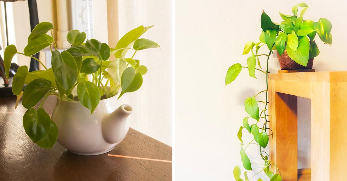Décorer votre maison avec la plante Pothos.