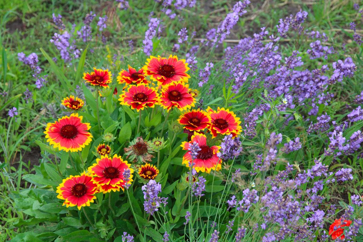 Gaillardia, fleurs colorées en automne.