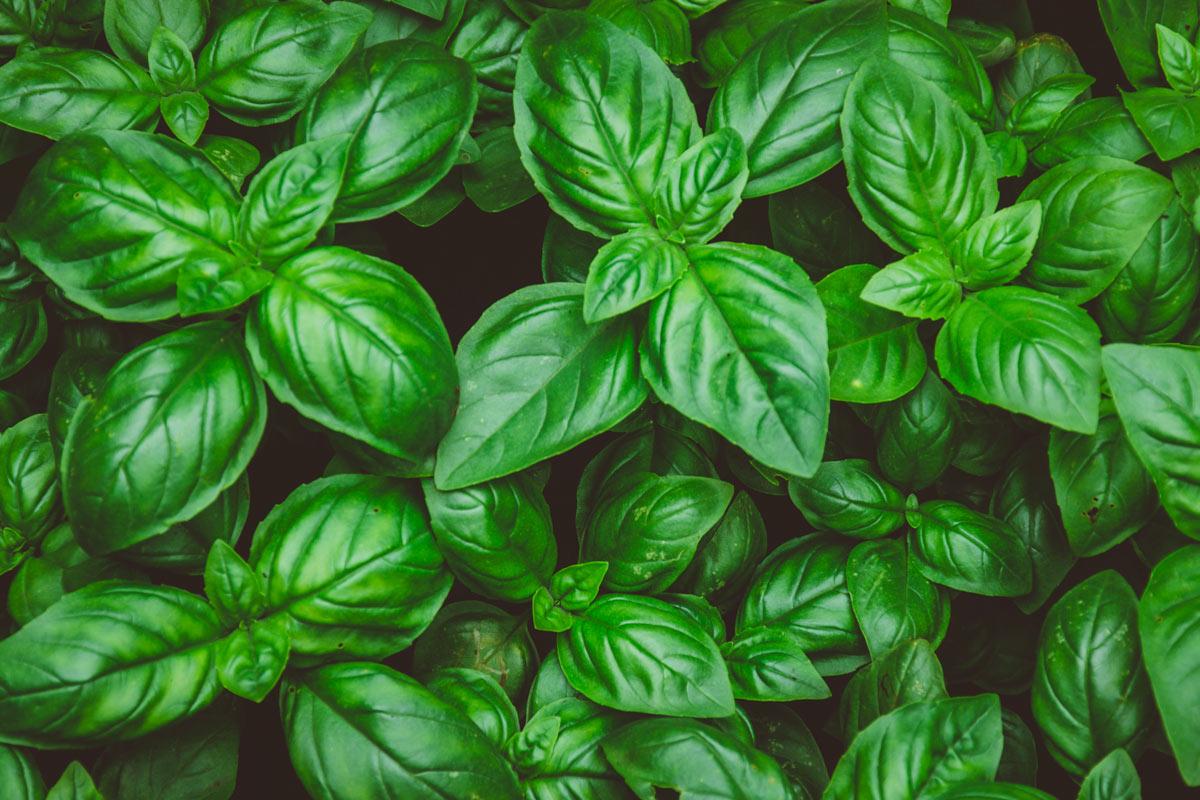 Basilico pianta antizanzara