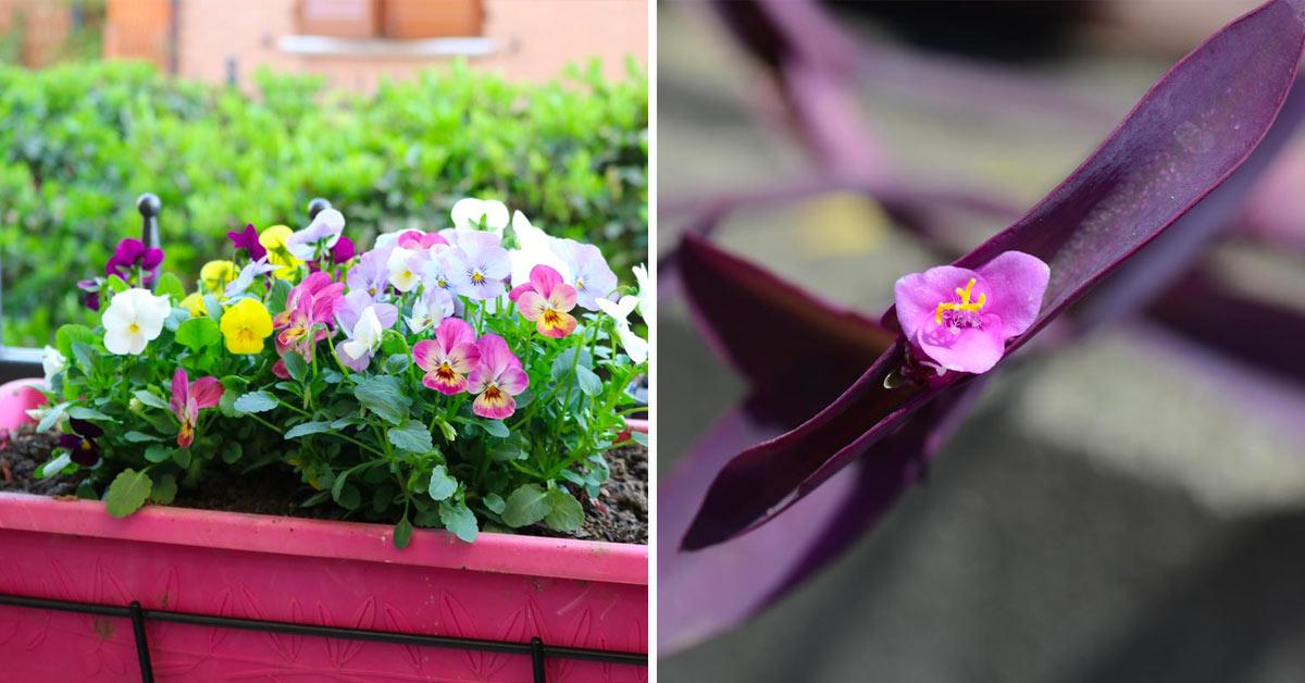 Les fleurs à faire pousser en pot en automne.