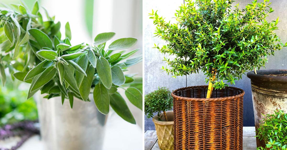 Plantes aromatiques parfaites à cultiver en automne.